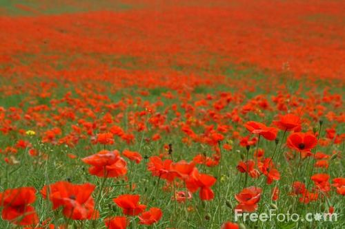 12_14_7---Poppies_web