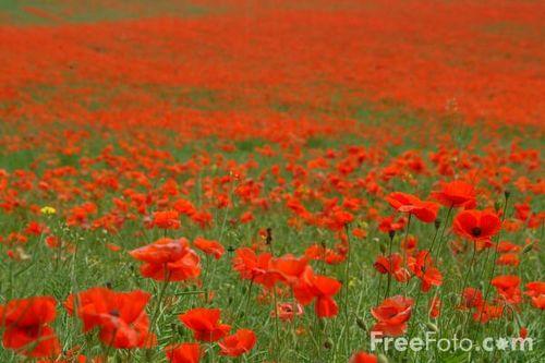 12_14_7---Poppies_web